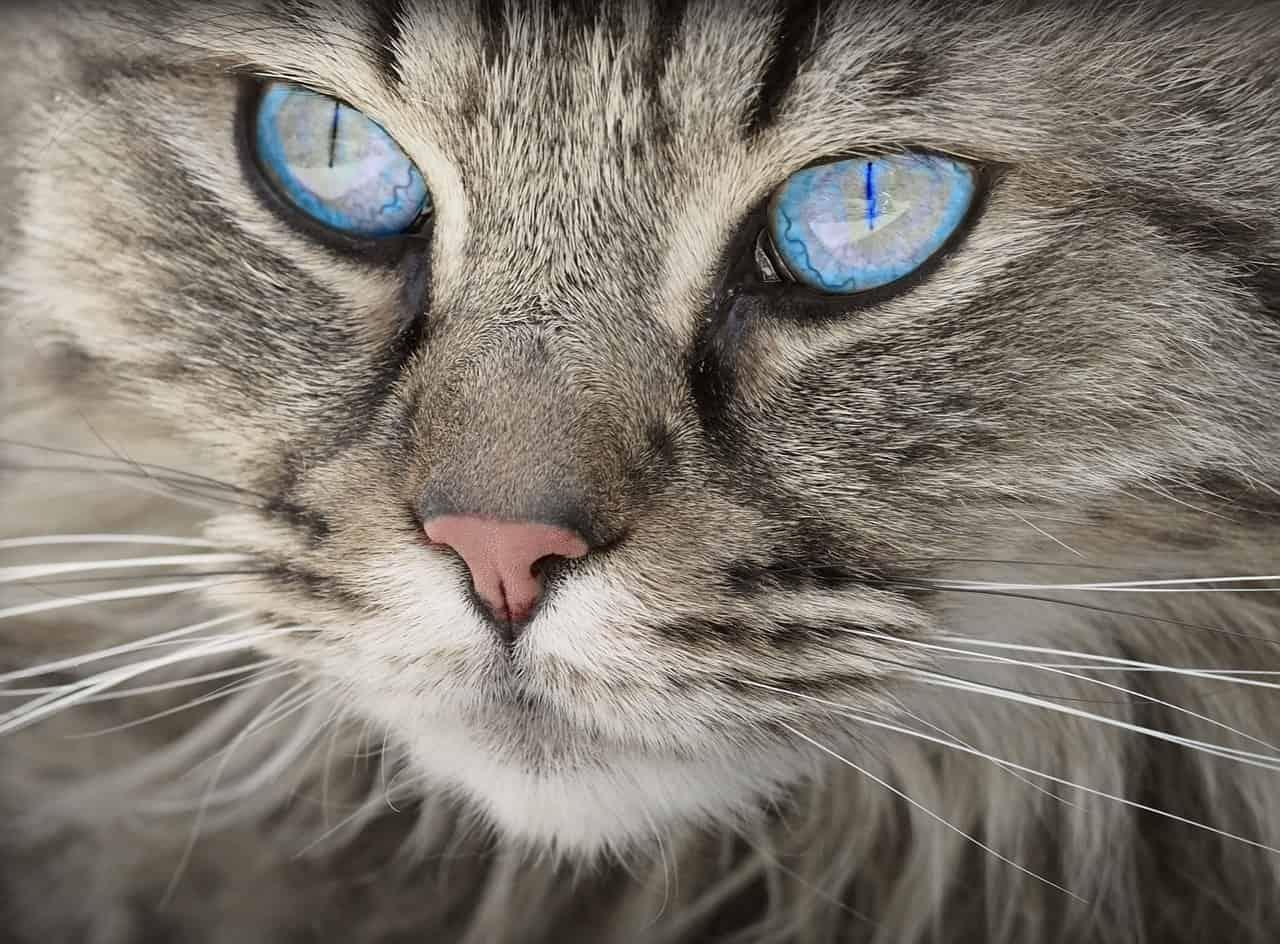 חתול עם עיניים כחולות
